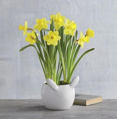 Bunny Tail Daffodils