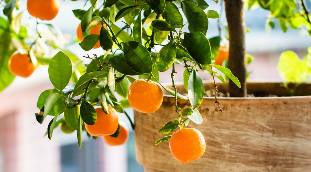 Indoor Citrus Trees Are The Next Big Thing In Home Decor