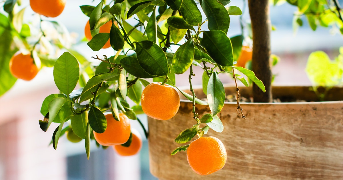Indoor Citrus Trees Are The Next Big Thing In Home Decor — Here's Where To Place Them
