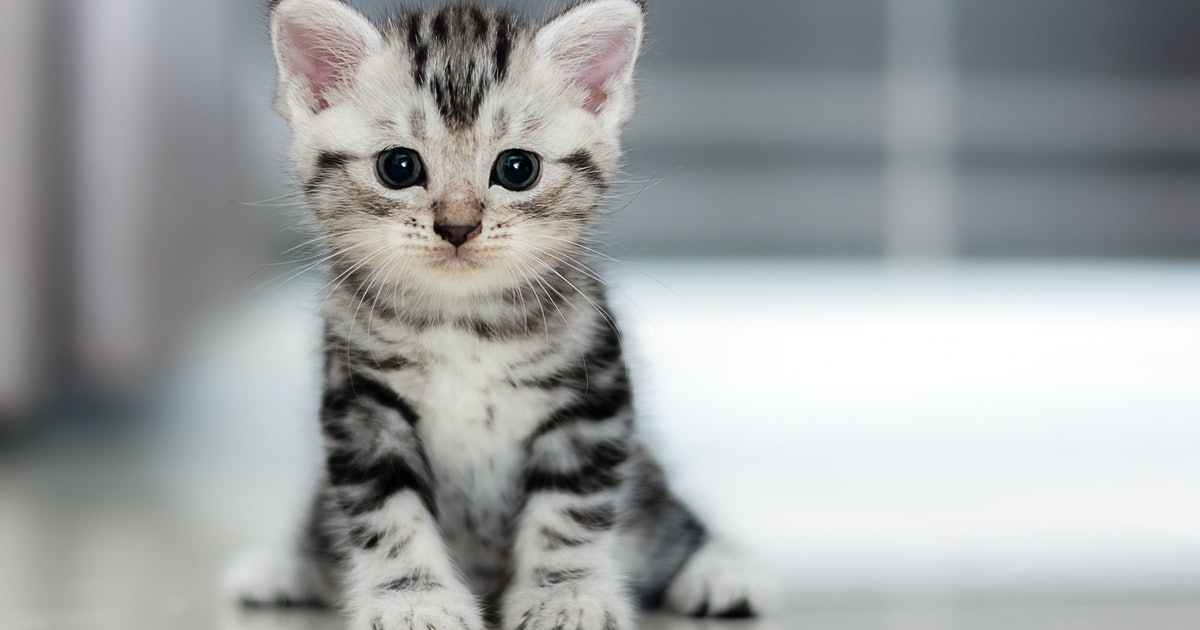8 Best Cat Breeds For First Time Owners
