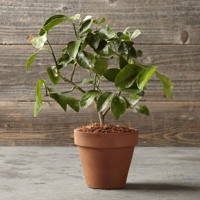 Lime Tree In Terra-Cotta Pot