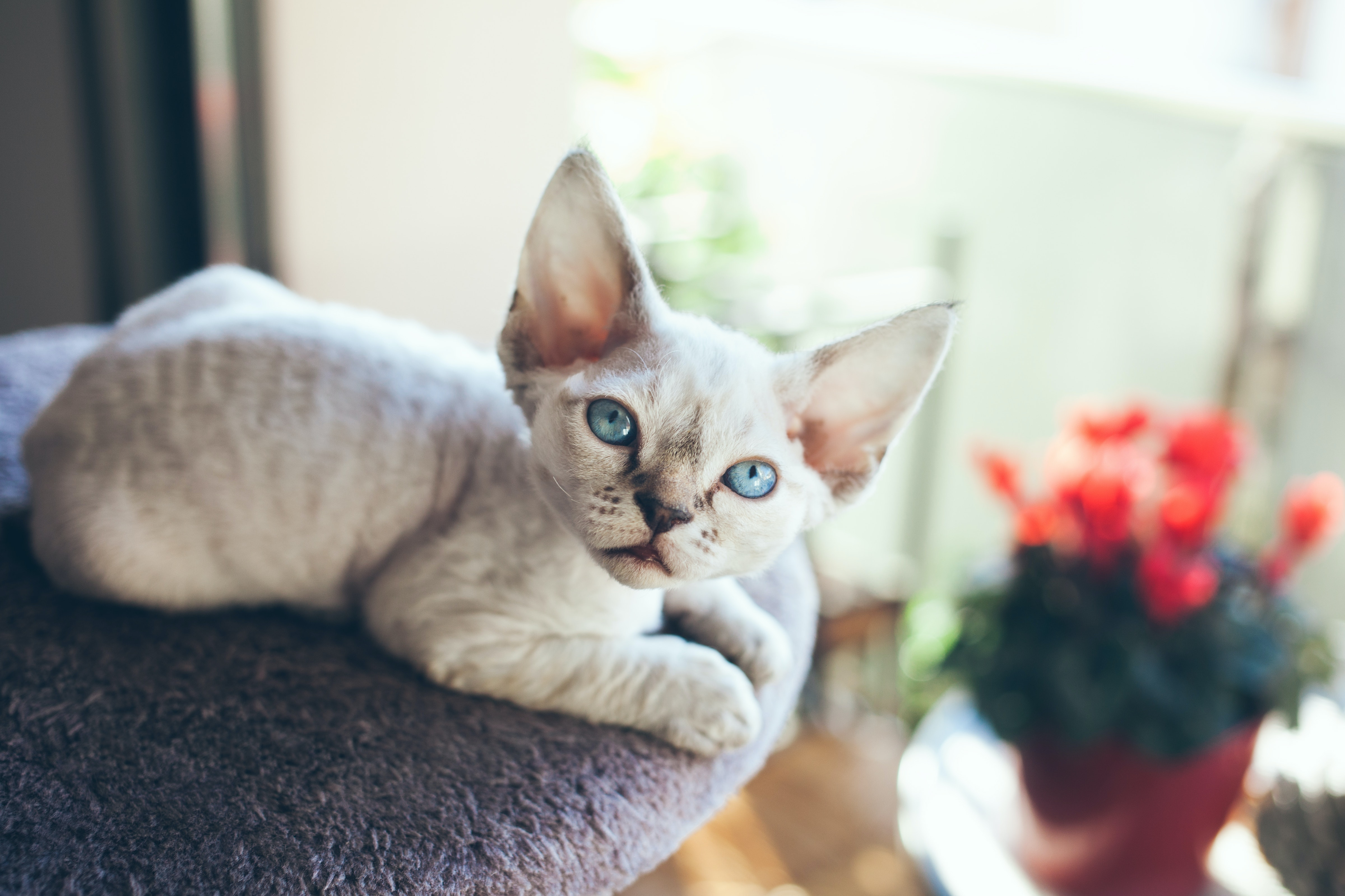 9 Cat Breeds That Don T Shed Much For People Who Are