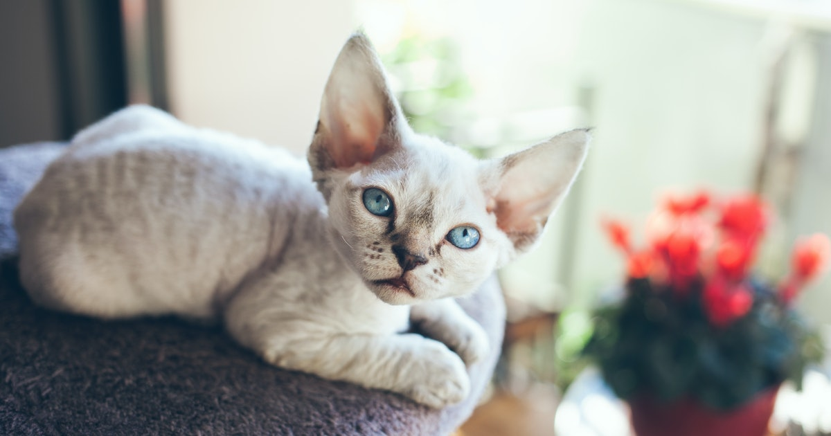 9 Cat Breeds That Don T Shed Much For People Who Are Sensitive To It