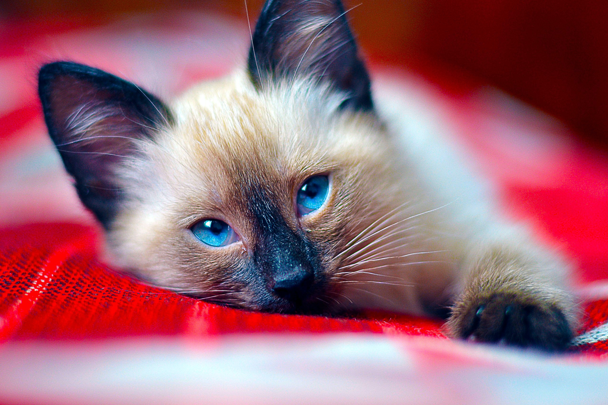 9 Cat Breeds That Don T Shed Much For