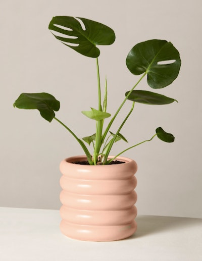 Monstera in Medium Delores Planter
