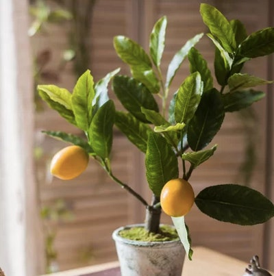 Small Lemon Bonsai Plant In Planter
