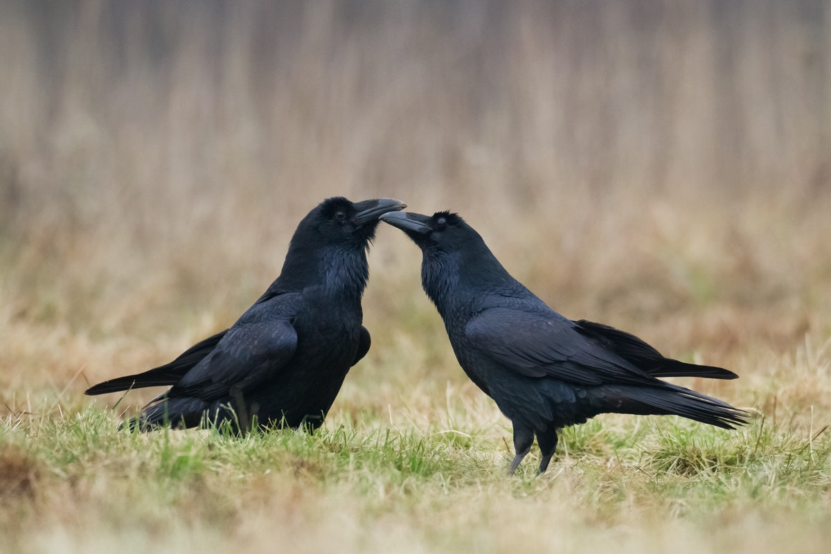 How smart are ravens? The birds can even pick up on their friends' bad vibes