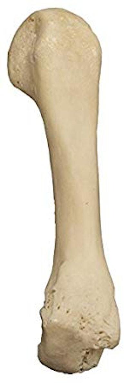 Real Human Finger Bones