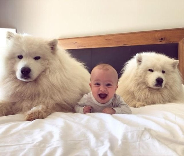 baby in between two big dogs