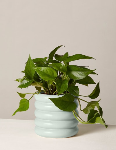 Jade Pothos  In Medium Dolores Planter