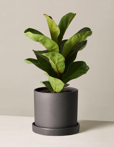 Fiddle Leaf Fig In Medium Hyde Planter