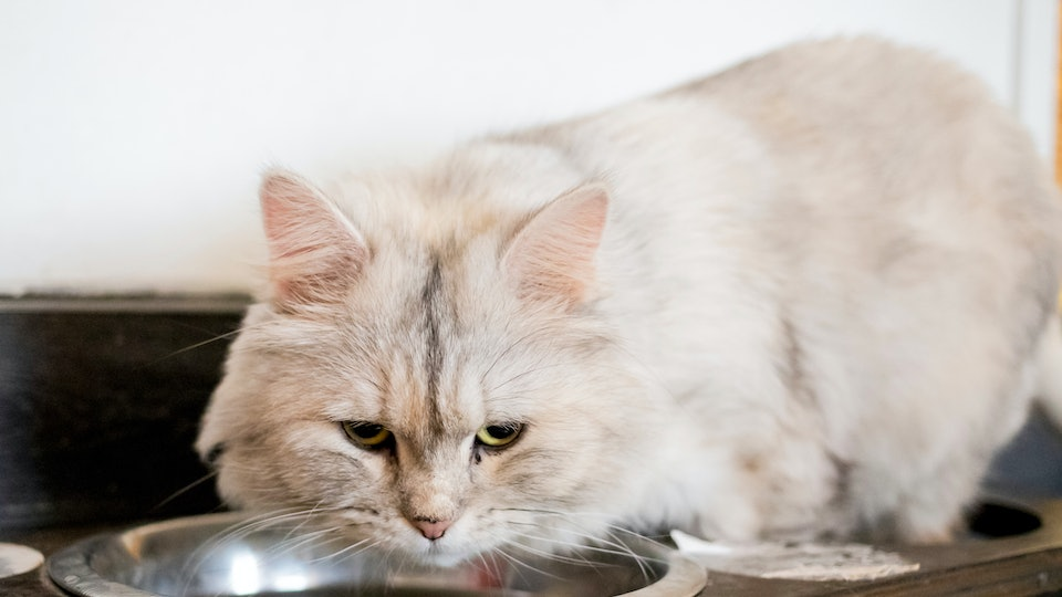 fluffy white cat with green eyes over a water bowl