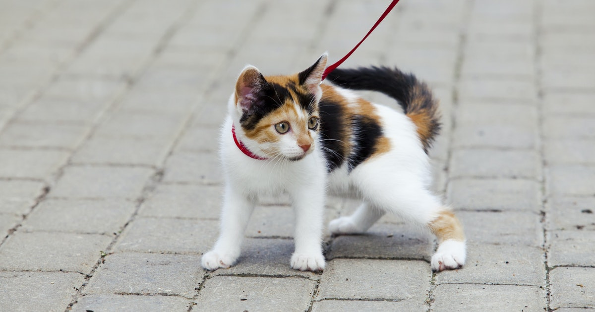 How to walk a cat — a comprehensive guide to a successful stroll with a hesitant pet