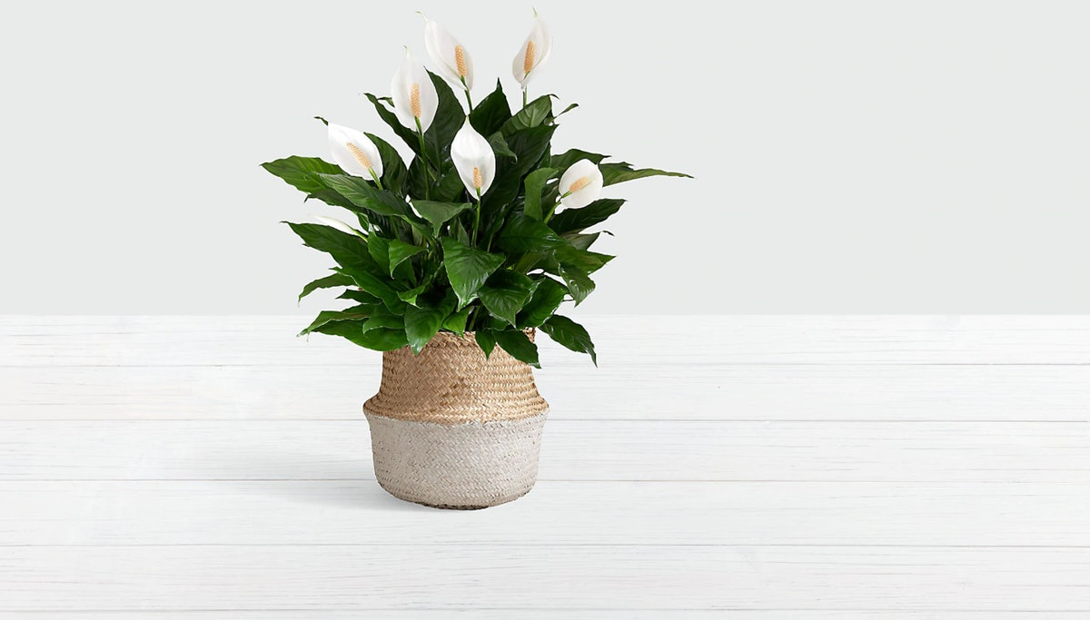 Peace Lily — Floor Plant With Stand