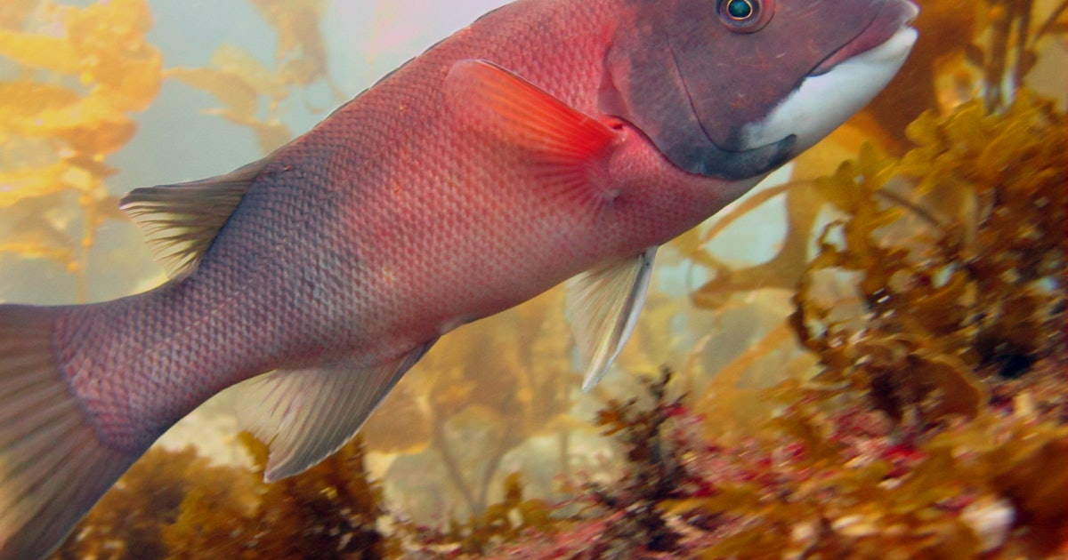 Sex-swapping fish show what it means to be resilient