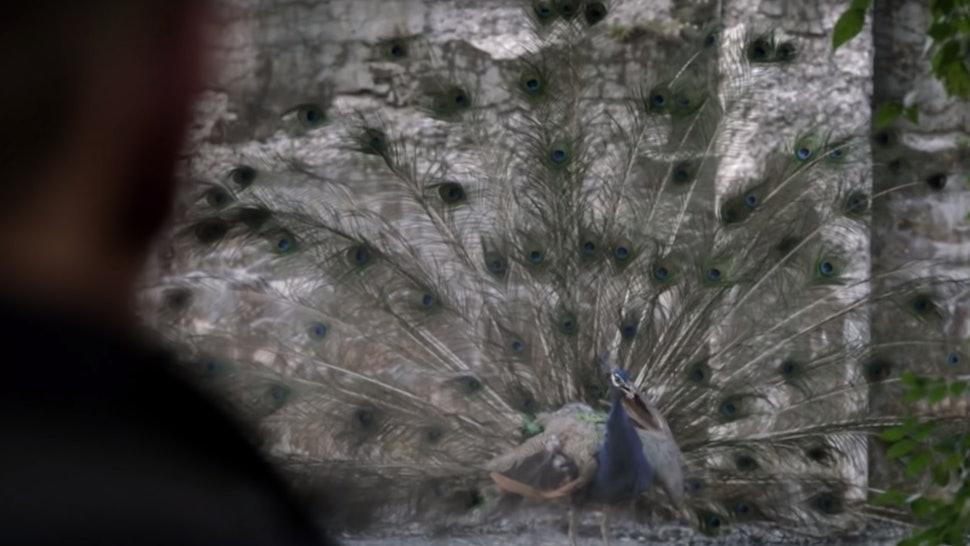 Peacock vision on Manifest