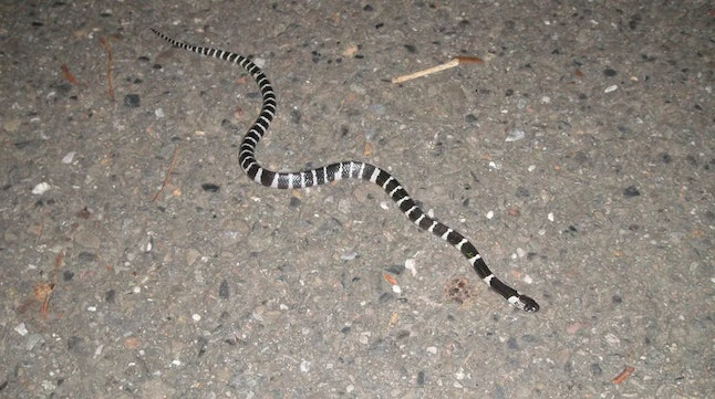 The many-banded krait (Bungarus multicinctus), also known as the Taiwanese krait or the Chinese krai...