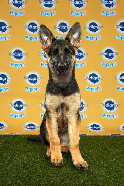 Daphne in the 2020 Puppy Bowl
