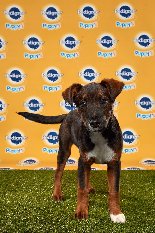 Anise in the 2020 Puppy Bowl