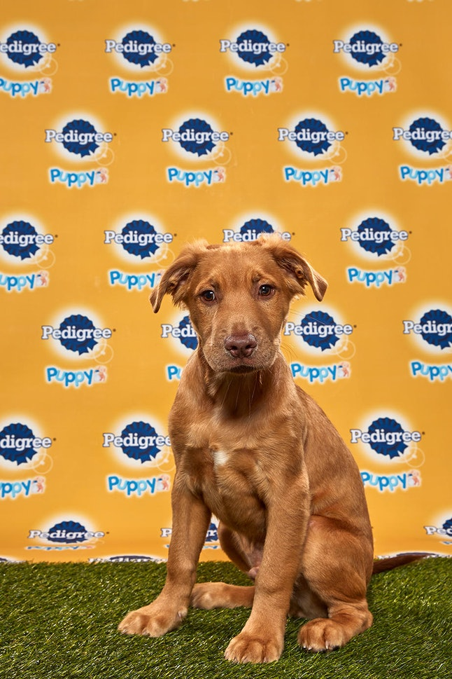 Goldie in the 2020 Puppy Bowl