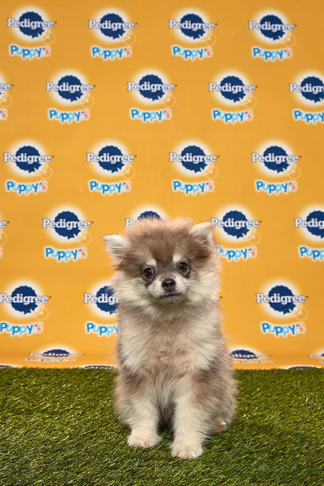 Theodore in the 2020 Puppy Bowl