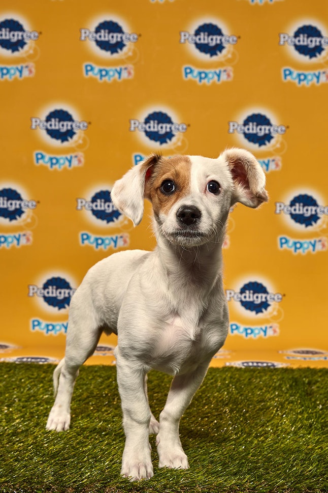 Jack in the 2020 Puppy Bowl