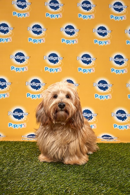 Maverick in the 2020 Puppy Bowl