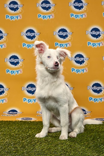 Filbert in the 2020 Puppy Bowl