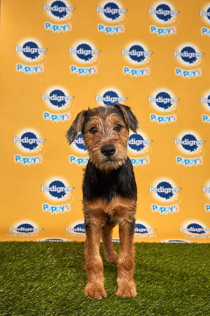 Rhubarb in the 2020 Puppy Bowl