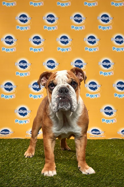 Betty in the 2020 Puppy Bowl