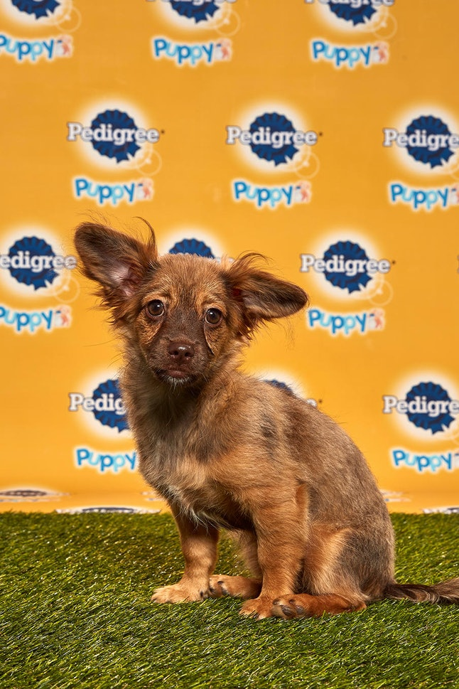 Darcy in the 2020 Puppy Bowl