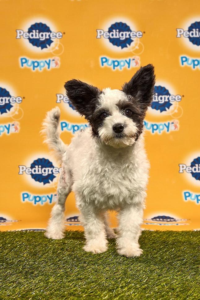 Poppy in the 2020 Puppy Bowl
