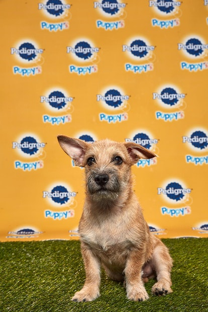 Rummy in the 2020 Puppy Bowl