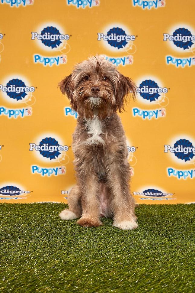 Strudel in the 2020 Puppy Bowl