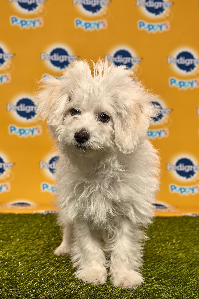 Wilbur in the 2020 Puppy Bowl
