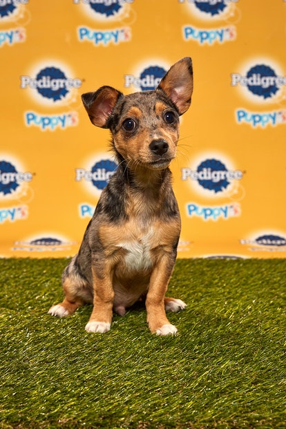 Brody in the 2020 Puppy Bowl