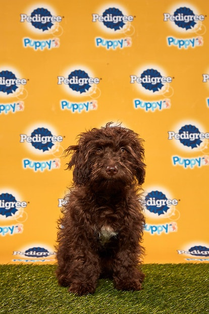 Bobby in the 2020 Puppy Bowl