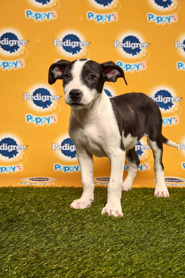 Bert in the 2020 Puppy Bowl