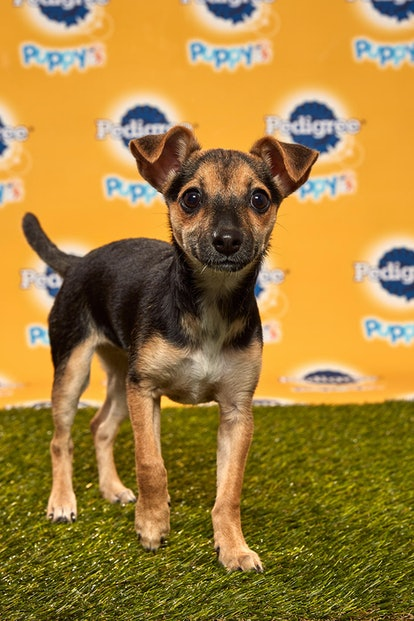 Lucca in the 2020 Puppy Bowl