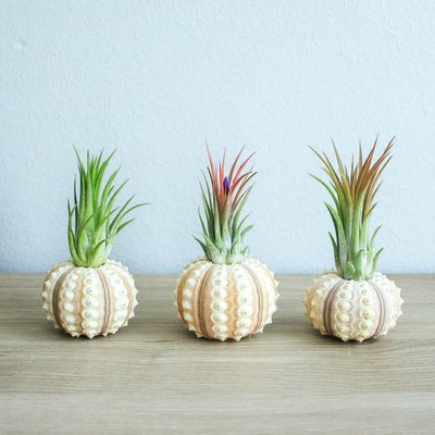 Air Plant Container - Set of 3 Sputnik Urchins with Ionantha Air Plants