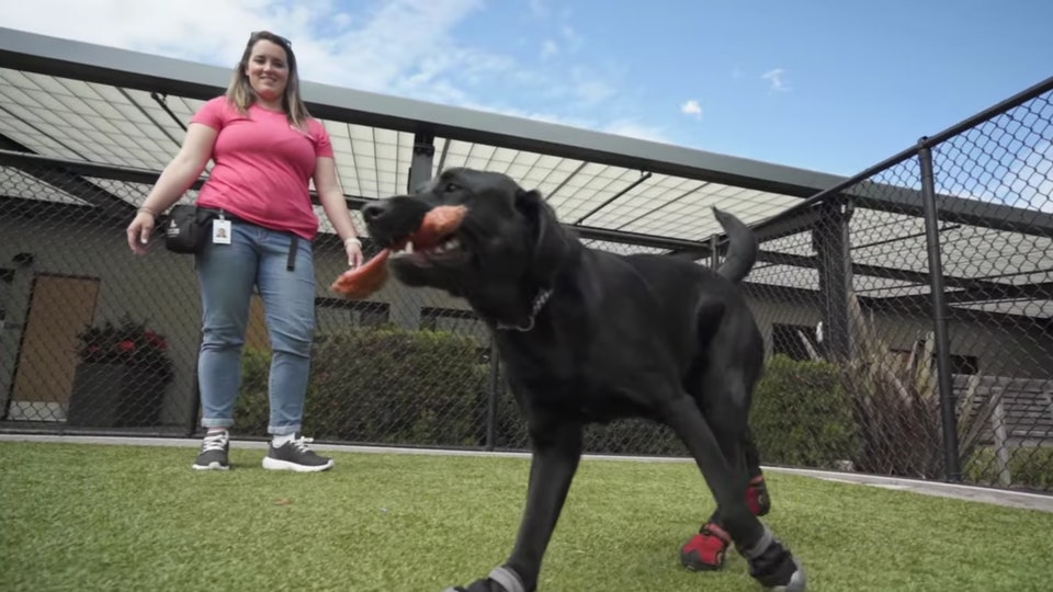 """In an exclusive """"Pick of the Litter"""" clip shared with Romper, dogs training to become guide dogs practice wearing shoes."""