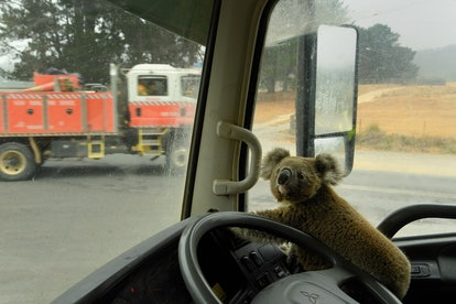 """A koala named """"Tinny Arse"""" that was rescued by Damian Campbell-Davys from a bushfire zone sits in his water tanker."""