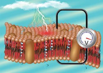 pit organ membrane viper