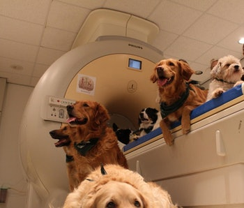 Family dogs recruited for fMRI studies.