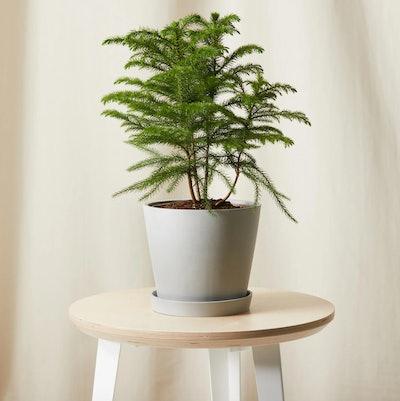 Tabletop Norfolk Pine