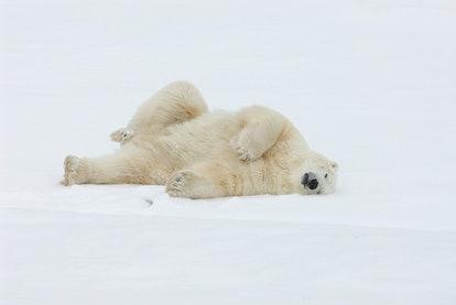 A polar bear stretches in the snow.