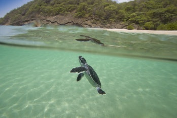 Baby turtles swimming, having escaped both predators and poachers on land.