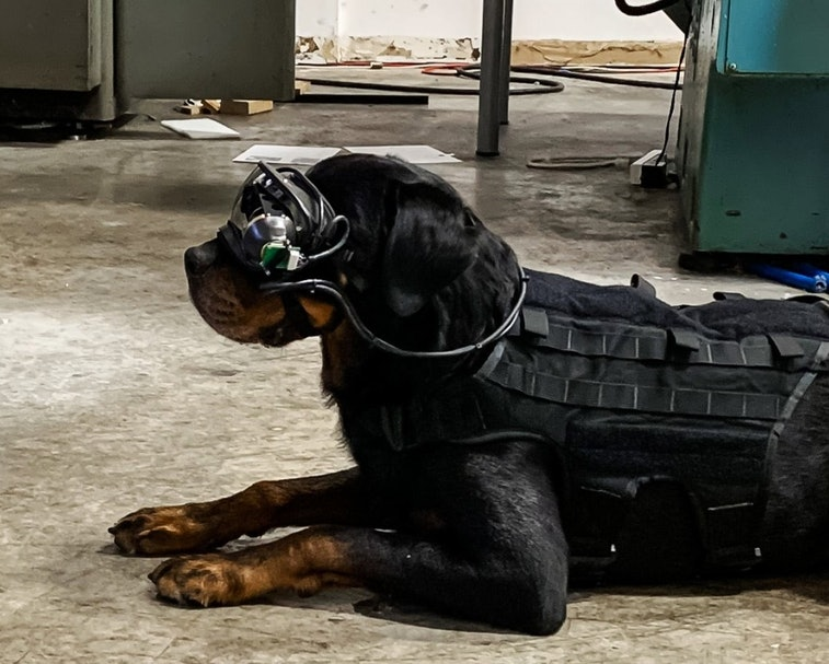 A dog is lying down and wearing an AR goggle prototype