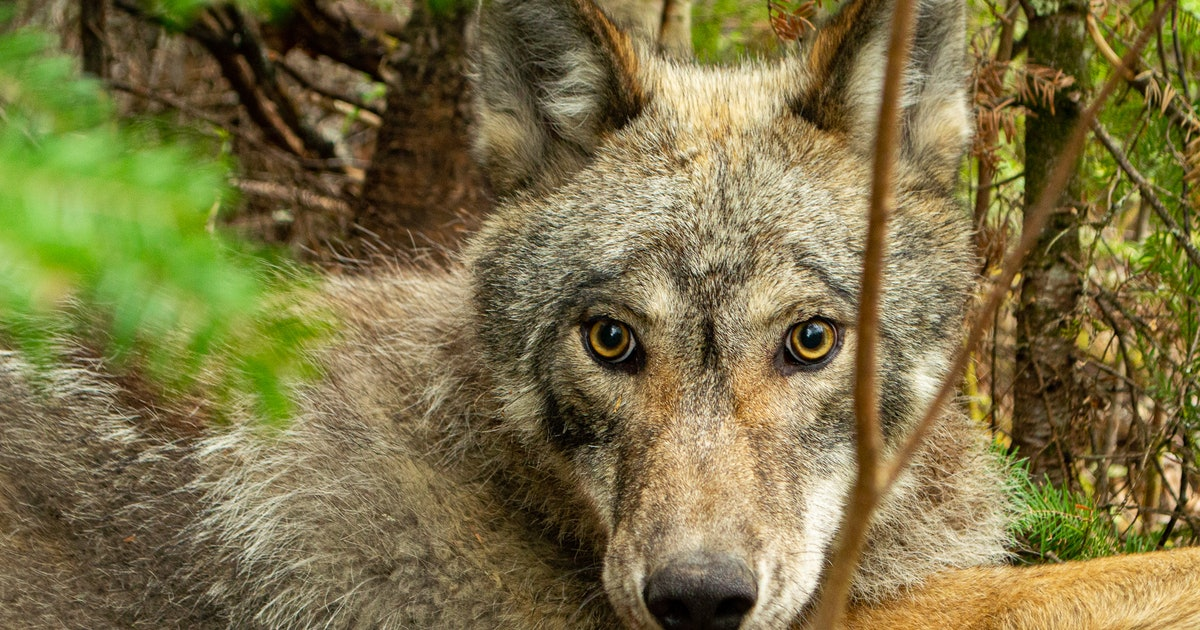 Scientists discover a completely unexpected way wolves alter ecosystems