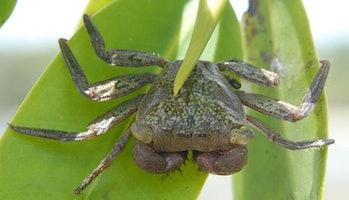 A mangrove tree crab.